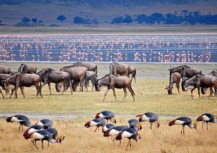 фото буйлов и фламинго в парке Нгоронгоро