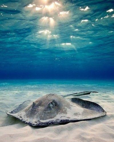 скат в красном море фото